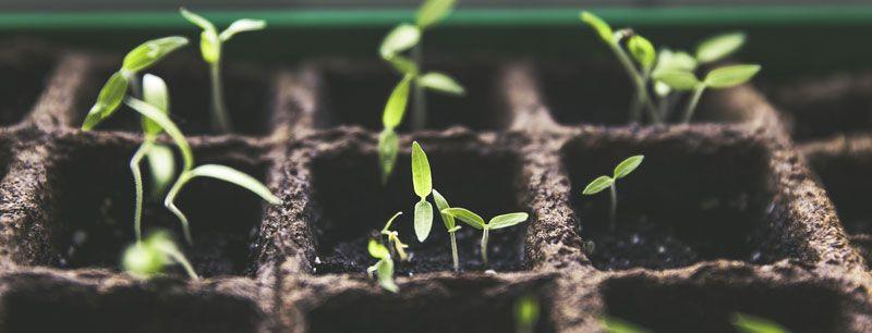 carencias en cultivos de marihuana